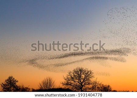 Beautiful large flock of starlings. A flock of starlings birds fly in the Netherlands. During January and February, hundreds of thousands of starlings gathered in huge clouds. Starling murmurations.  Royalty-Free Stock Photo #1931404778