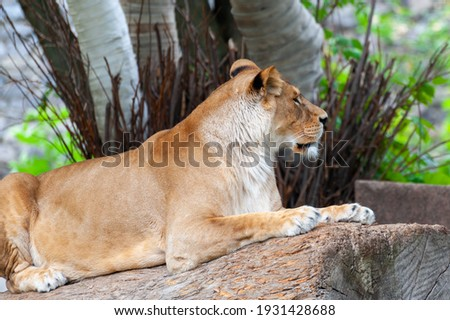 Close Up picture of a lion.  A portrait of a lioness relaxing on grass