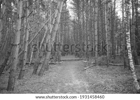 mystical pine forest that surrounds a walking trail. Some broken trees that have fallen over the walking trails. Spring sunlit trees. black and white picture
