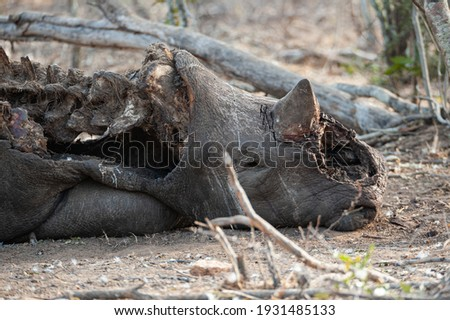 The Remains of a poached White Rhino seen on a safari in South Africa, with it's front horn chopped off. Royalty-Free Stock Photo #1931485133