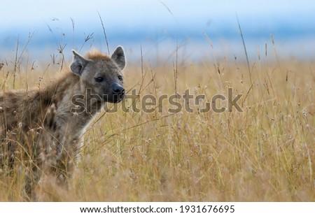 Spotted Hyena (Crocuta crocuta) in Masai Mara Kenya