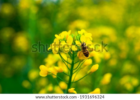 Golden lush blooming rapeseed, bees are collecting nectar Royalty-Free Stock Photo #1931696324
