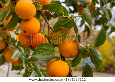 Ripe persimmon in the garden Royalty-Free Stock Photo #1931857112