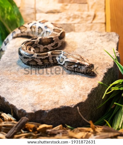 Pictures of animals. A tiger python is crawling on a stone. The family of snakes. Nature, tropics.