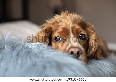 Indoor portrait of a cocker spaniel laying in bed with a furry pillow. Royalty-Free Stock Photo #1931876660