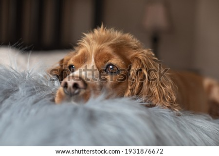 Indoor portrait of a cocker spaniel laying in bed with a furry pillow. Royalty-Free Stock Photo #1931876672