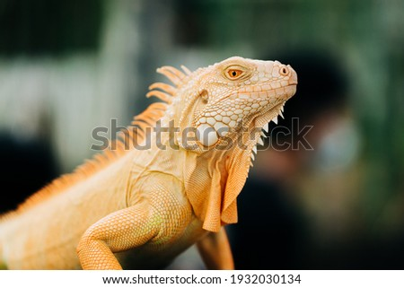 A yellow iguana settles on its place during the reptile exhibition. Royalty-Free Stock Photo #1932030134