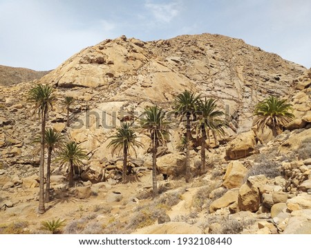 Arid and desert landscape with tall palm trees. Set of palm trees growing in isolated oasis in the arid valley of dry rocky desert. Palms rising high against hill. Palms and rocks pattern. Royalty-Free Stock Photo #1932108440