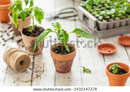 Planting seedlings indoors. Homegrown Trinidad Moruga scorpio chili plant, seedling.tomato seedling plant and small basil in the background.
