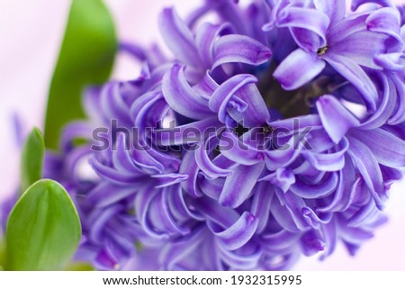 Blue hyacinth flower on a delicate background close-up. Flower bud, macro photography. Close-up of a beautiful blue hyacinth flower. The first spring flower is a blue hyacinth. Flora