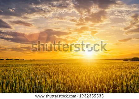 Sunset or sunrise on a rye field with golden ears and a dramatic cloudy sky. Royalty-Free Stock Photo #1932355535