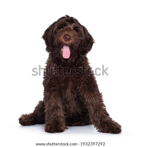 Adorable dark brown Cobberdog aka Labradoodle pup, sitting up facing front with tongue out. Looking towards camera. Isolated on white background. Royalty-Free Stock Photo #1932397292