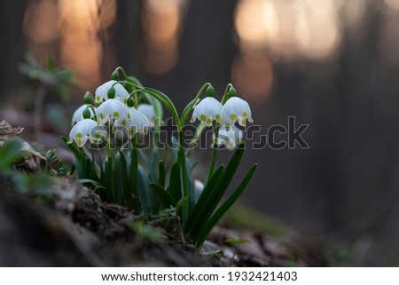 The first spring flowers spring snowflake (Leucojum vernum) in the evening light. Leucojum vernum, called spring snowflake is a perennial bulbous flowering plant species in the family Amaryllidaceae.  Royalty-Free Stock Photo #1932421403
