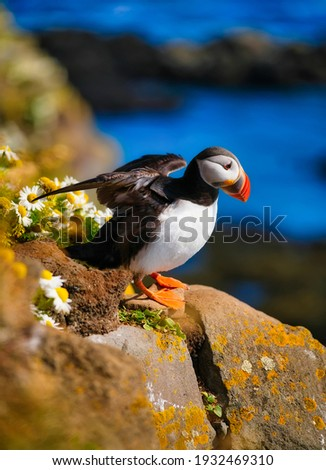 Birds image. Puffin in Iceland. Seabird on sheer cliffs. Bird on the Westfjord in Iceland. Composition with wild animals. Royalty-Free Stock Photo #1932469310