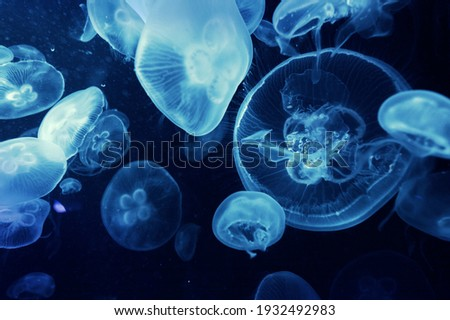 Beautiful Underwater Picture of Blue Jelly Fish.