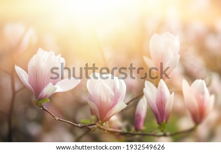 Magnolia flowers background. Beautiful nature scene with blooming tree and sun. Sunny day with spring flowers