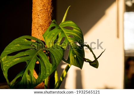Beautiful monstera plant climbing on moss pole. Monstera Monkey Mask or Monstera obliqua in pot. tropical monstera Adansonii or Swiss cheese vine house plant leaves sunlight golden hour Royalty-Free Stock Photo #1932565121