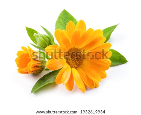 Calendula. Calendula officinalis. Calendula flower and buds isolated. Marigold on white background.