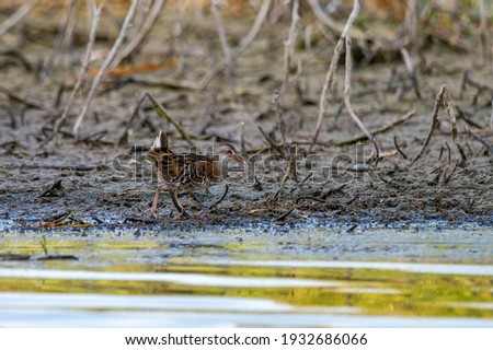 Close up of water rail running along the edge of the swamp
