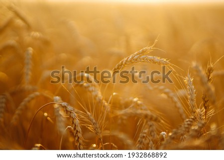 Sunset wheat golden field in the evening. Growth nature harvest. Agriculture farm. Royalty-Free Stock Photo #1932868892
