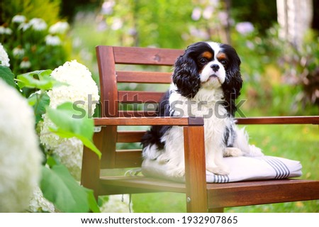 cavalier king charles spaniel dog relaxing outdoor in summer garden, sitting on wooden chair Royalty-Free Stock Photo #1932907865