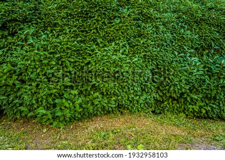 Green bright bush shrub leaves texture. Front view of the bush. Bright green texture Royalty-Free Stock Photo #1932958103