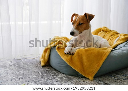 Cute sleepy Jack Russel terrier puppy with big ears resting on a dog bed with yellow blanket. Small adorable doggy with funny fur stains lying in lounger. Close up, copy space, background, top view. Royalty-Free Stock Photo #1932958211