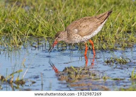Tringa totanus redshank foraging and swallowing prey in shallow muddy wetland with flooded grass and water with bright orange legs and open orange bill a characteristic picture of a wader in swamp