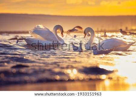 White swans in the sea,sunrise shot Royalty-Free Stock Photo #1933151963