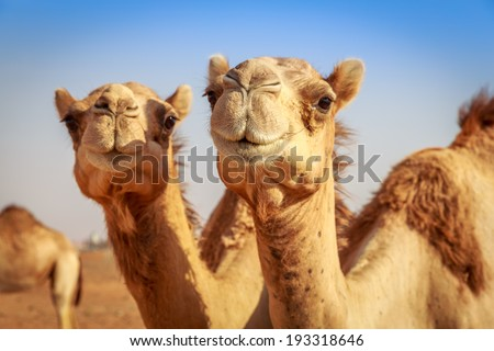 Camels in Arabia, wildlife Royalty-Free Stock Photo #193318646