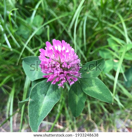 Macro photo pink clover. Stock photo blooming clover flower plant