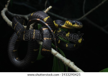 a juvenile of boiga melanota or gold-ringed cat eyes snake with a thick black color accompanied by a thin yellow color is hunting prey on a delicate twig at night in a forest with a black background Royalty-Free Stock Photo #1933290425