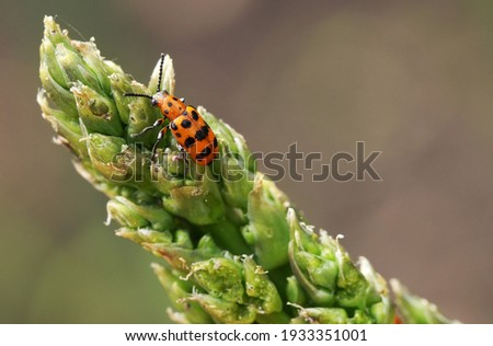 Spotted asparagus beetle on the asparagus sprout top. The main pest of asparagus crop. Royalty-Free Stock Photo #1933351001