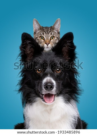 border collie dog portrait with a hiding cat behind in front of a blue background Royalty-Free Stock Photo #1933485896
