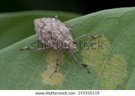 Macro shot of a shield bug on green leaf