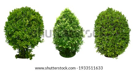 Bush, Dwarf trees, ornamental trees, shrubs., Siamese rough bush, pruning tree for garden decoration.  Total of 3 Isolated on white background and clipping path. Royalty-Free Stock Photo #1933511633