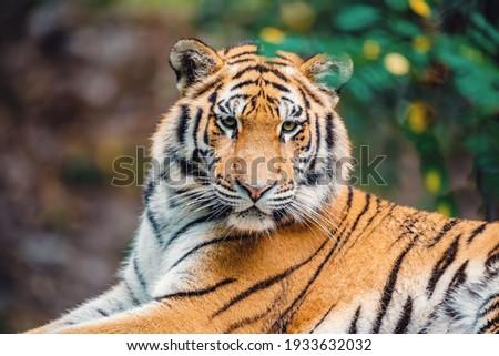 Siberian tiger (Panthera tigris tigris), Amur tiger (Panthera tigris altaica) in the forest Royalty-Free Stock Photo #1933632032