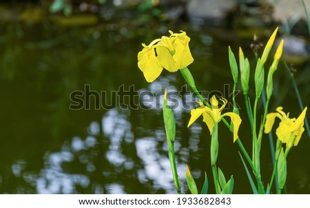 Yellow flower Iris pseudacorus (yellow flag, yellow iris) on blurry green pond background. Selective focus close-up nature shot in spring garden.  Landscape for any wallpaper. There is place for text