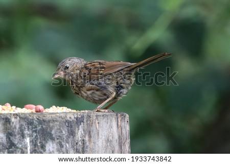 Juvenile dunnock at a woodland feeding station
