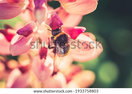 Bumble Bee pollinating and collecting nectar from a Lupin flower in the garden at the Sunset. Shallow debth of field Royalty-Free Stock Photo #1933758803