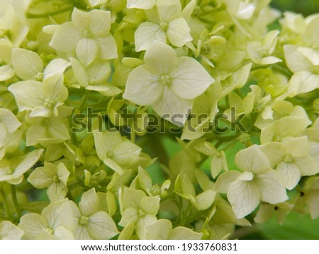 White hydrangea blooming in the garden. Pale green. Flower background