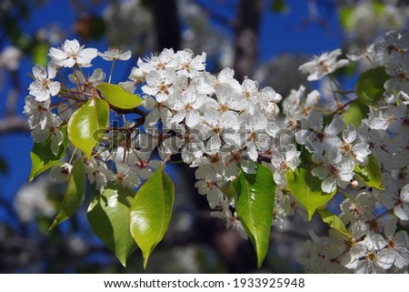 Close-up selective focus full frame view of a branch with white blossoms of an evergreen pear blossom tree Royalty-Free Stock Photo #1933925948
