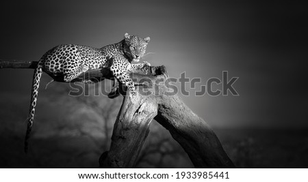 Artistic, black and white photo of an African Leopard, Panthera pardus, lying on the tree, isolated on dark background. Eye contact with african top predator. Okonjima, Namibia.  Royalty-Free Stock Photo #1933985441
