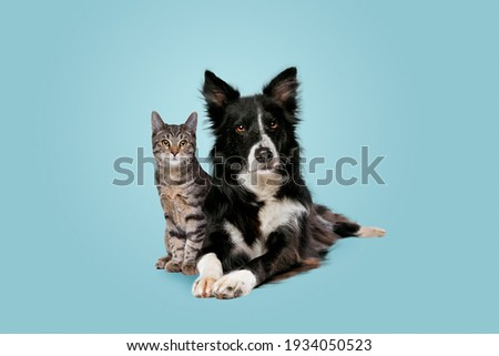 tabby cat and border collie dog in front of a blue gradient background Royalty-Free Stock Photo #1934050523