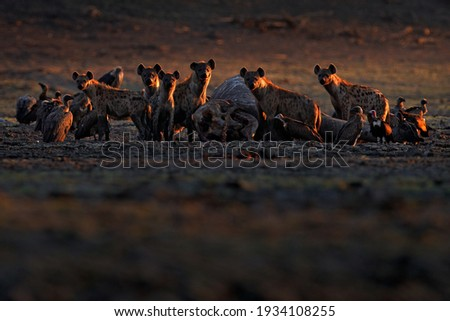 Dead elephant. Africa wildlife. spotted hyena, Crocuta crocuta, pack with elephant carcass, Mana Pools NP, Zimbabwe in Africa. Animal behaviour, elephant with hyenas and vultures. Morning light.
