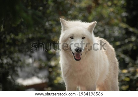 A beautiful and distinctive picture of a white wolf, Alaska arctic wolf  Beautiful