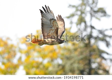 Close up of a beautiful Red-Tailed Hawk flying through a mixed forest setting in the Fall Season.