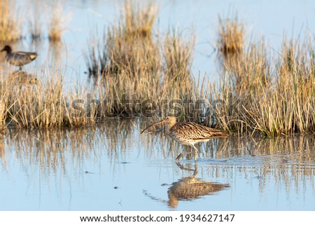 Eurasian curlew Numenius arquata wading wetland in search of food in natural park of mallorca spain Royalty-Free Stock Photo #1934627147