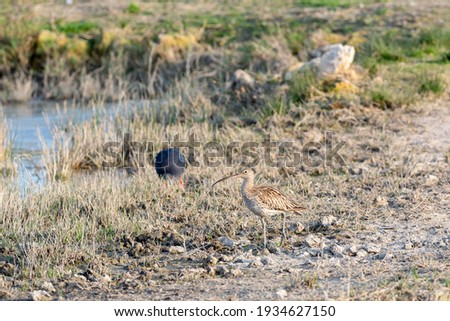 Eurasian curlew Numenius arquata wading wetland in search of food in natural park of mallorca spain Royalty-Free Stock Photo #1934627150