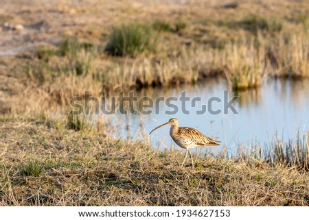 Eurasian curlew Numenius arquata wading wetland in search of food in natural park of mallorca spain Royalty-Free Stock Photo #1934627153